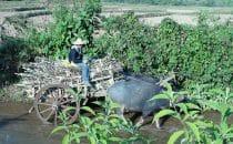 Birmanie Hsipaw buffle