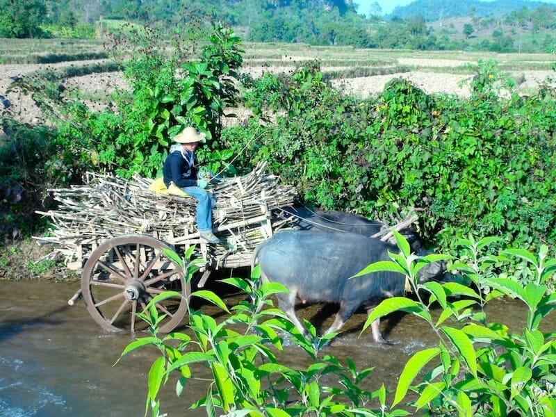 charette a buffle de riziere hsipaw birmanie Myanmar