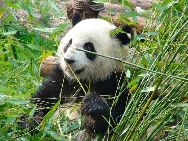 Panda centre de préservation de chengdu chine
