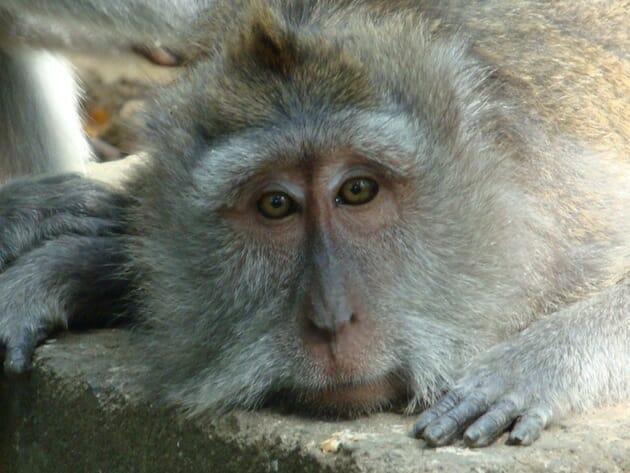singe monkey forest ubud bali indonésie