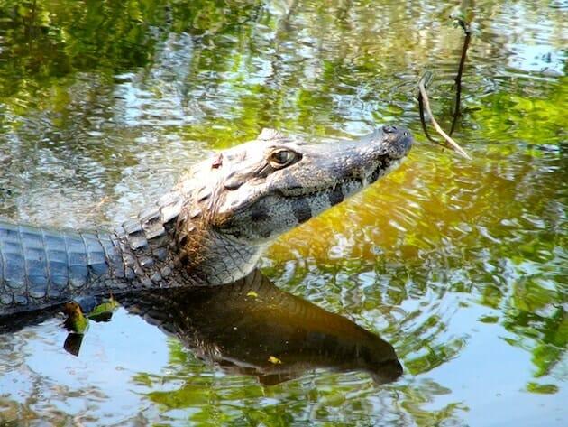 caiman pantanal brésil