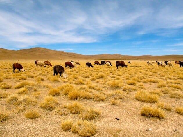 lamas sud lipez expédition salar d'uyuni bolivie