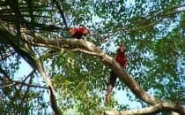 perroquet arras rouge pantanal brésil