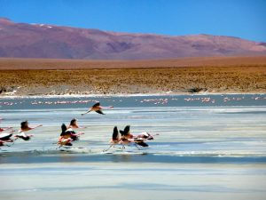 4.-flamands-rose-sur-lipez-salar-duyuni-bolivie
