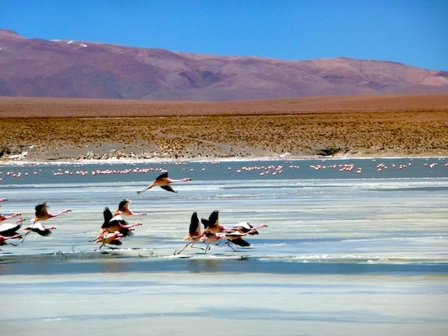 flamands-rose-sud-lipez-salar-duyuni-bolivie
