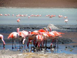 flamands rose sud lipez bolivie