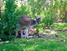 Kangourou Yanchep parc national australie