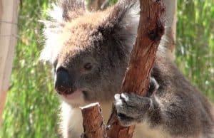 Koala Yanchep national parc australie