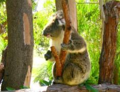 koala parc national de Yanchep