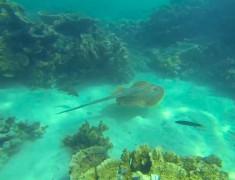 raie coral bay australie
