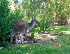 kangourou partir australie