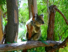 koala partir en australie