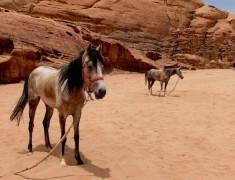 hevaux desert wadi rum jordanie