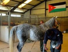 marechal pur sang arabe jordanie
