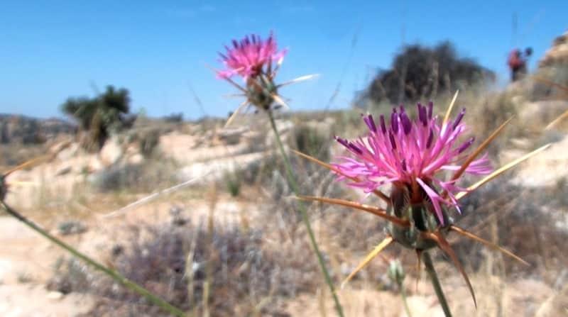 fleurs vallée de dana Jordanie
