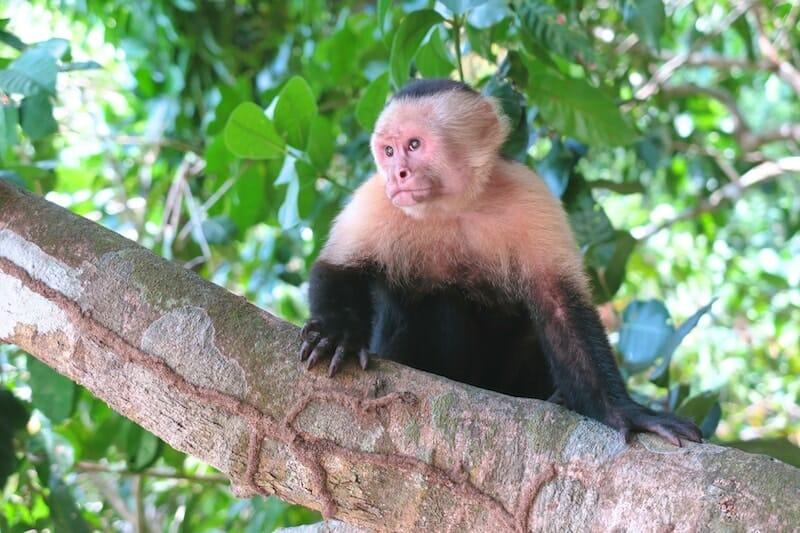 Singe capucins manuel antonio Costa Rica
