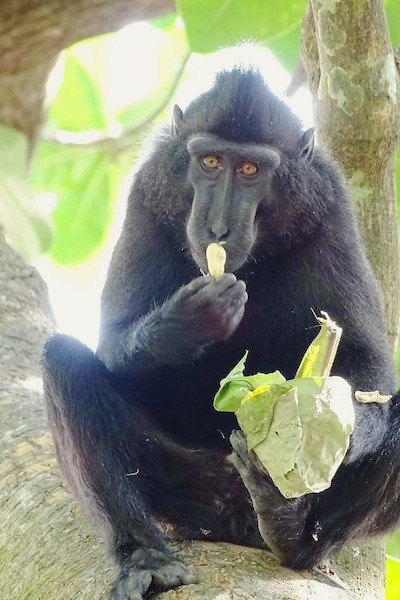 macaque-noir-parc-de-tangkoko