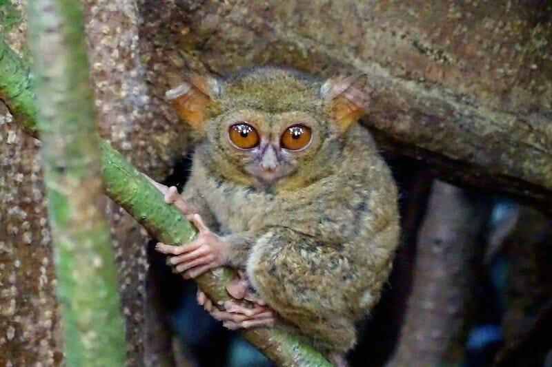 tarsier-parc-tangkoko