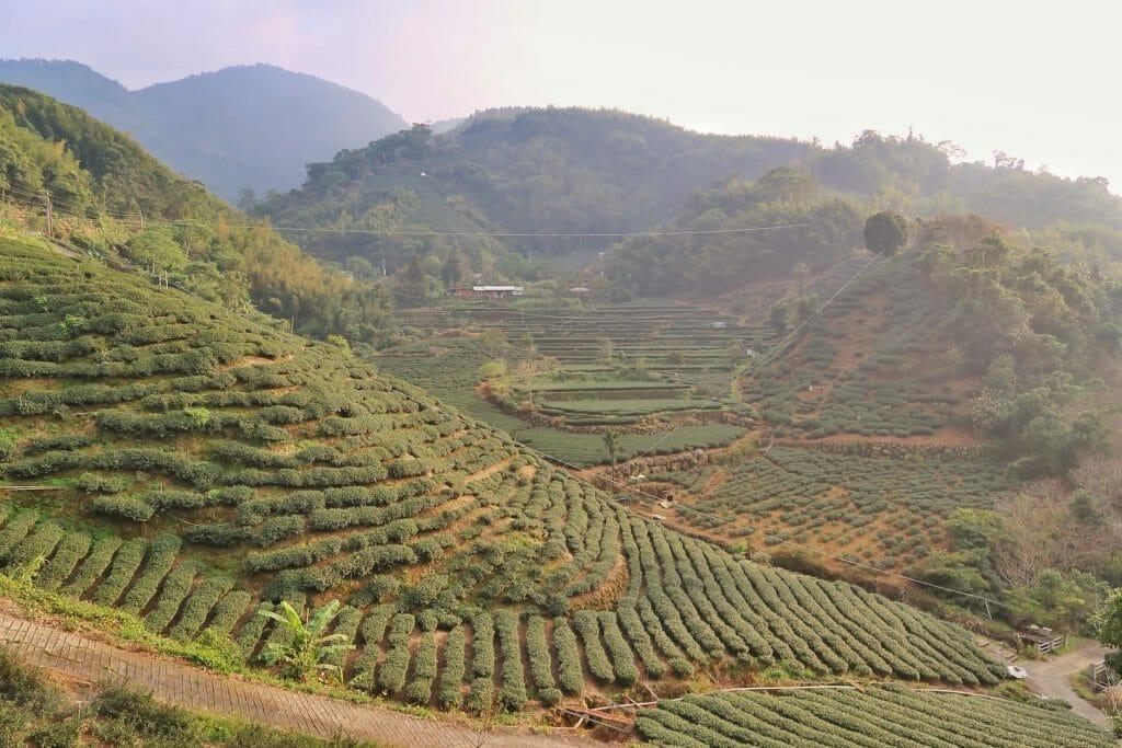 champs de thé Taiwan
