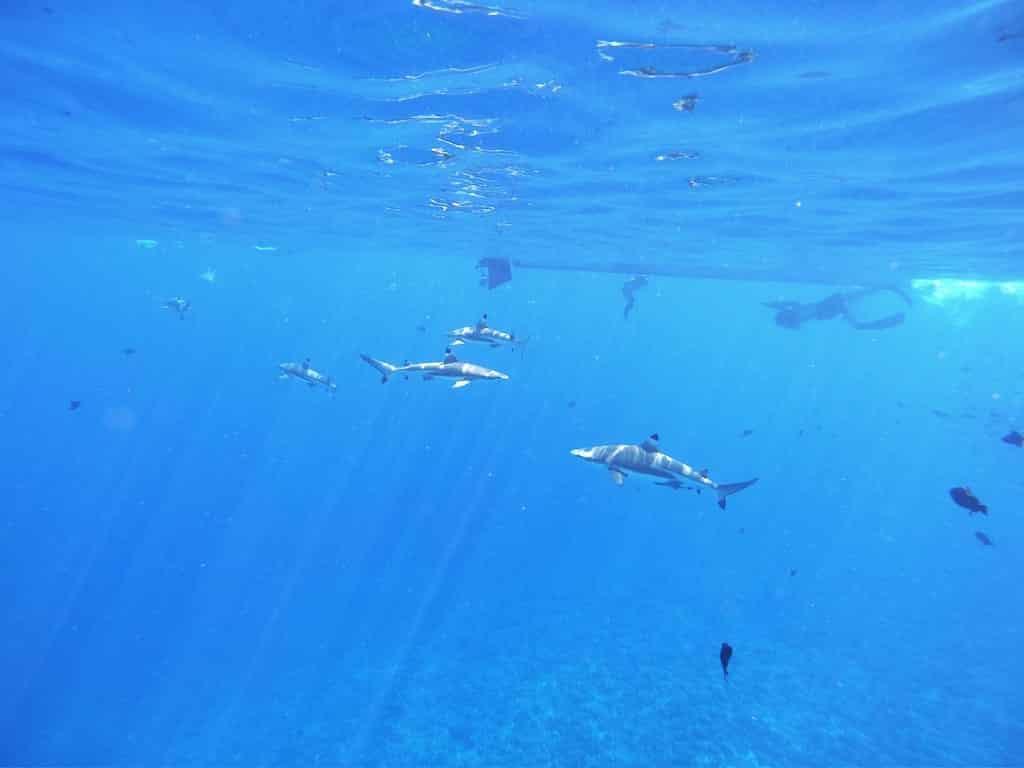 requins pointes noires bora bora