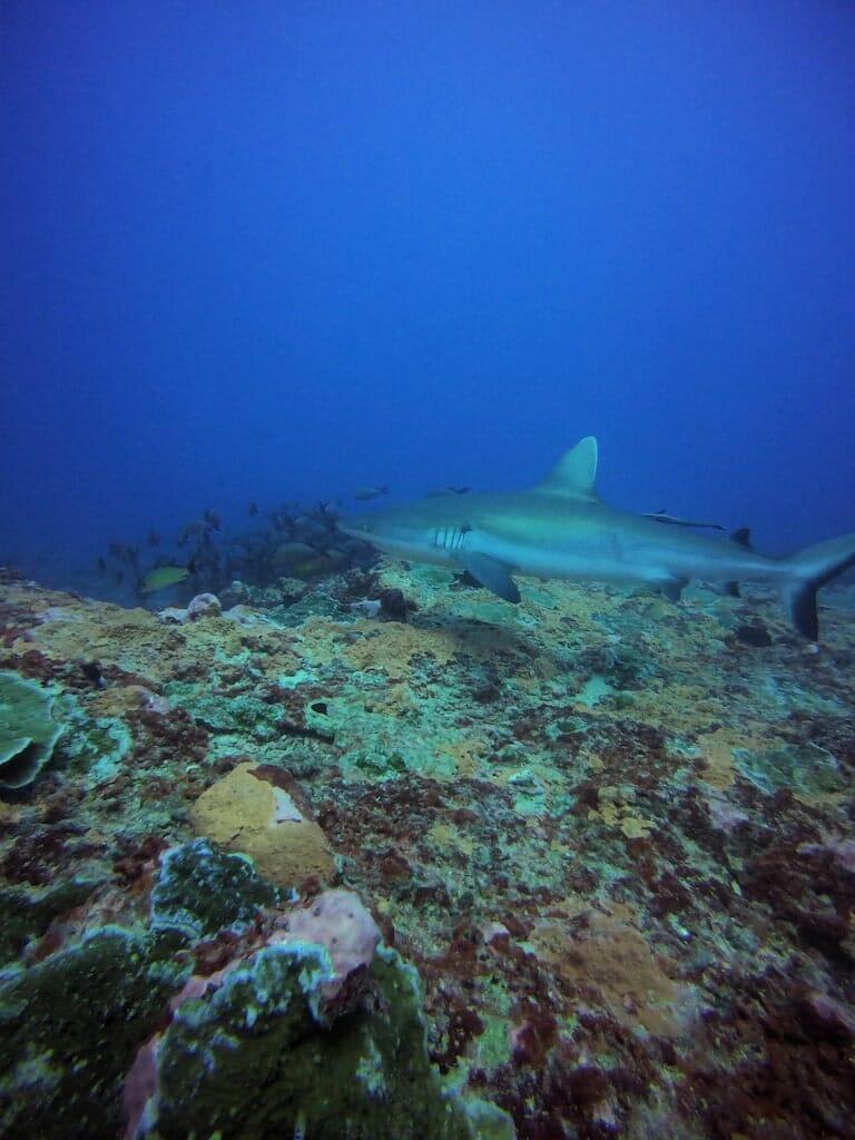 plongee huahine requins