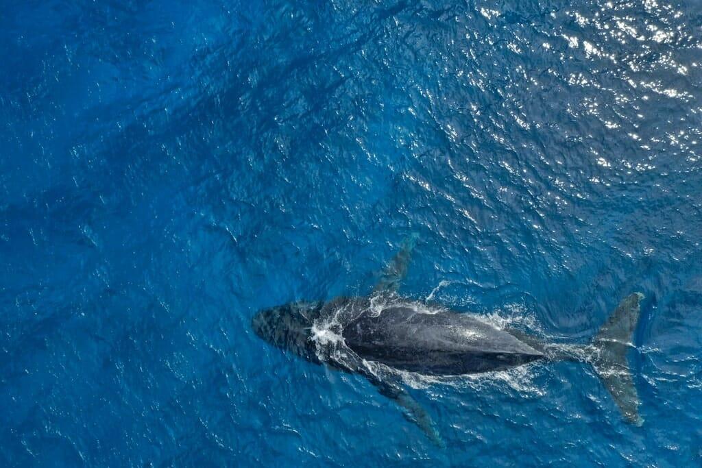 baleine vaitumu polynesie francaise